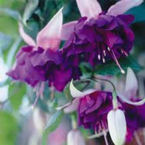 5 X FUCHSIA DEEP PURPLE